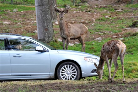 Drivers, Passengers, Pedestrians and now Animals - Volvo at the Forefront of Future Technology